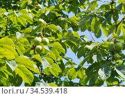 Плоды конского каштана на ветвях дерева (крупный план) Стоковое фото, фотограф E. O. / Фотобанк Лори