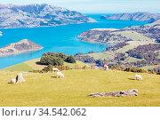 Wild sheep on the Banks Peninsula near Akaroa in Canterbury, New Zealand... Стоковое фото, фотограф Zoonar.com/Chris Putnam / easy Fotostock / Фотобанк Лори
