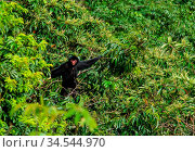 Spider monkey male swinging on the tree branch at Kanuku Mountains... Стоковое фото, фотограф Zoonar.com/Sergey Mayorov / easy Fotostock / Фотобанк Лори