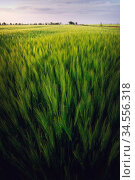 Beautiful evening landscape over a green lush wheat field in folk... Стоковое фото, фотограф Zoonar.com/Ian Iankovskii / easy Fotostock / Фотобанк Лори