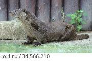 Eurasian otter (Lutra lutra) in summer. Стоковое фото, фотограф Валерия Попова / Фотобанк Лори