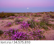 Sand verbena (Abronia villosa) and Desert lily (Hesperocallis Undulata) flowering on Mowhawk Dunes, following sunset, full moon setting. Barry M Goldwater Air Force Range, Arizona, USA. March 2020. Стоковое фото, фотограф Jack Dykinga / Nature Picture Library / Фотобанк Лори