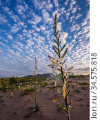 Desert lily (Hesperocallis undulata) in Mohawk Dunes at dawn. Barry M Goldwater Air Force Range, Arizona, USA. March 2020. Стоковое фото, фотограф Jack Dykinga / Nature Picture Library / Фотобанк Лори