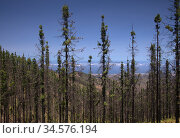 Gran Canaria, landscape of the central part of the island, Las Cumbres, ie The Summits, Canary Pines burnt in wildfire slowly recovering. Стоковое фото, фотограф Tamara Kulikova / Фотобанк Лори