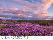 Sand verbena (Abronia villosa) flowering on Mohawk Dunes under stormy evening sky. Barry M Goldwater Air Force Range, Arizona, USA. March 2020. Стоковое фото, фотограф Jack Dykinga / Nature Picture Library / Фотобанк Лори