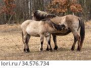 Konik horse, wild mare suckling foal. Rewilding project, Beremytske Nature Reserve, Chernihiv Region, Ukraine. February. Стоковое фото, фотограф Kristel Richard / Nature Picture Library / Фотобанк Лори