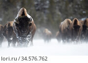 Bison (Bison bison) herd walking in heavy snow. Yellowstone National Park, USA, January. Стоковое фото, фотограф Danny Green / Nature Picture Library / Фотобанк Лори