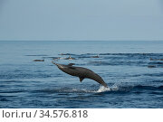 Spinner dolphin (Stenella longirostris) leaping and spinning out of water, pod swimming in background. Pacific Ocean, Southern Costa Rica. Стоковое фото, фотограф Doug Perrine / Nature Picture Library / Фотобанк Лори