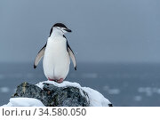 Chinstrap penguin (Pygoscelis antarcticus) standing on snow covered rock overlooking sea. Orne Harbour, Antarctic Peninsula, Antarctica. December. Стоковое фото, фотограф Doug Gimesy / Nature Picture Library / Фотобанк Лори