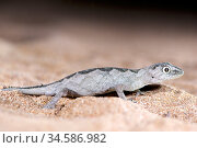South-western spiny-tailed gecko (Strophurus spinigerus spinigerus). White-eyed morph restricted to Shark Bay area. False Entrance, Edel Land National... Стоковое фото, фотограф Bert Willaert / Nature Picture Library / Фотобанк Лори