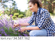 woman with picking lavender flowers in garden. Стоковое фото, фотограф Syda Productions / Фотобанк Лори