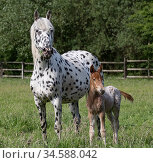 Knabstrupper mare and foal in pasture, both with leopard spotting. Germany. May. Стоковое фото, фотограф Carol Walker / Nature Picture Library / Фотобанк Лори