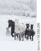Percheron horse, group running uphill through snow, one dappled grey... Стоковое фото, фотограф Carol Walker / Nature Picture Library / Фотобанк Лори