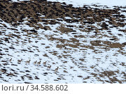 Elderly male snow leopard (Panthera uncia) watched by herd of Blue sheep or bharal (Pseudois nayaur). Spiti Valley, Himachal Pradesh, northern India. Стоковое фото, фотограф Nick Garbutt / Nature Picture Library / Фотобанк Лори