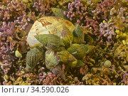 Dog whelk (Nassarius reticulatus) devouring. Venus clam- Banded carpet... Стоковое фото, фотограф Marevision / age Fotostock / Фотобанк Лори