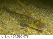 Common dragons, Dragonet (Callionymus lyra). Eastern Atlantic. Galicia... Стоковое фото, фотограф Marevision / age Fotostock / Фотобанк Лори