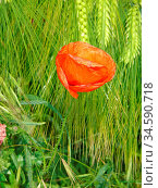 Klatschmohn, mohn, blüte, blume, natur, rot, bunt, kontrast, farbe... Стоковое фото, фотограф Zoonar.com/Volker Rauch / easy Fotostock / Фотобанк Лори