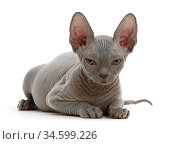 Grey Sphynx kitten, age 11 weeks, lying down. Стоковое фото, фотограф Mark Taylor / Nature Picture Library / Фотобанк Лори