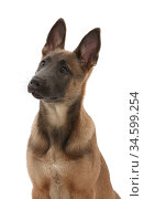 Fawn and blue Belgian Shepherd Dog (Malinois) pup, age 12 weeks. Стоковое фото, фотограф Mark Taylor / Nature Picture Library / Фотобанк Лори