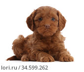 Red Cockapoo puppy, age 6 weeks. Стоковое фото, фотограф Mark Taylor / Nature Picture Library / Фотобанк Лори
