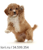 RF - Red Cavapoo dog puppy, age 8 weeks, jumping up and waving.  ... Стоковое фото, фотограф Mark Taylor / Nature Picture Library / Фотобанк Лори