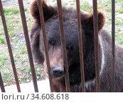 Грустный медведь в клетке зоопарка. Стоковое фото, фотограф Владислав Сабанин / Фотобанк Лори