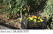 Closeup of plastic box with freshly picked partially ripe tomatoes on vegetable garden on sunny day. Summer harvest time. Стоковое видео, видеограф Яков Филимонов / Фотобанк Лори