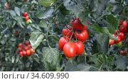 Closeup of cluster of ripe red plum tomatoes in green foliage on bush. Growing of vegetables in greenhouse. Стоковое видео, видеограф Яков Филимонов / Фотобанк Лори