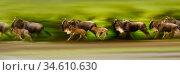 Herd of White-bearded Wildebeest (Connochaetes taurinus albojubatus) with calves, running during the annual Serengeti-Masai Mara migration. Near Ndutu... Стоковое фото, фотограф Nick Garbutt / Nature Picture Library / Фотобанк Лори