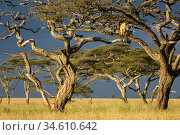 RF - African lioness (Panthera leo) using Umbrella acacia tree (Acacia tortillis) as a lookout. Ngorongoro Conservation Area / Serengeti National Park... Стоковое фото, фотограф Nick Garbutt / Nature Picture Library / Фотобанк Лори