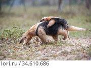 RF - Southern tamandua (Tamandua tetradactyla) carrying its young... Стоковое фото, фотограф Nick Garbutt / Nature Picture Library / Фотобанк Лори