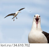 RF - Black-browed albatross (Thalassarche melanophrys) calling and in flight. Bay of Isles, South Atlantic. January. (This image may be licensed either as rights managed or royalty free.) Стоковое фото, фотограф Nick Garbutt / Nature Picture Library / Фотобанк Лори