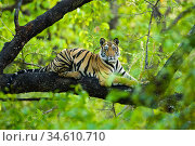 RF - Bengal tiger (Panthera tigris tigris) juvenile, age 15 months, climbing a tree. Bandhavgarh NP, Madhya Pradesh, India. (This image may be licensed either as rights managed or royalty free.) Стоковое фото, фотограф Nick Garbutt / Nature Picture Library / Фотобанк Лори