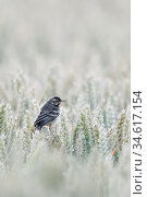 Yellow Wagtail ( Motacilla flava ), young bird, fledged, juvenile... Стоковое фото, фотограф Ralf Kistowski / age Fotostock / Фотобанк Лори