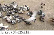 Large group of pigeons walks, takes off and pecks ground in search of food. Feeding street pigeons in urban setting, struggle to survive, competition, natural selection, chaos, vanity. 1080p footage. Стоковое видео, видеограф Dmitry Domashenko / Фотобанк Лори