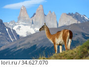 Guanaco (Lama guanicoe) standing, towers of Torres del Paine National... Стоковое фото, фотограф Nick Garbutt / Nature Picture Library / Фотобанк Лори