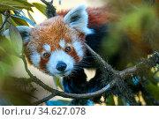Western red panda (Ailurus fulgens fulgens) climbing in tree. Singalila National Park, India / Nepal border. Стоковое фото, фотограф Nick Garbutt / Nature Picture Library / Фотобанк Лори