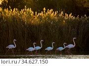 Greater flamingo (Phoenicopterus roseus) Pont Du Gau Park, Camargue... Стоковое фото, фотограф Edwin Giesbers / Nature Picture Library / Фотобанк Лори
