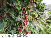 Coffee fruits and Beans at a coffee plantation at the Phu Hin Rong... Стоковое фото, фотограф Zoonar.com/URS FLUEELER / age Fotostock / Фотобанк Лори
