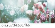 Tulpen in Pastellfarbigkeit, kühle helle Grau-Töne kontrastieren warme... Стоковое фото, фотограф Zoonar.com/wolfgang rieger / easy Fotostock / Фотобанк Лори