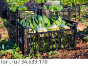 Closeup ripe chard in boxes on a field. Стоковое фото, фотограф Яков Филимонов / Фотобанк Лори