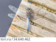 Large blue dragonfly resting on piece of wood. Стоковое фото, фотограф Zoonar.com/Micha Klootwijk / age Fotostock / Фотобанк Лори
