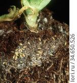 Lettuce Root Aphid (Pemphigus bursarius) colony on Lettuce roots. Стоковое фото, фотограф Nigel Cattlin / Nature Picture Library / Фотобанк Лори