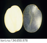 Two Potato (Solanum tuberosum) sections, one with iodine stain (right) to show the abundant starch cells and the other unstained (left). Стоковое фото, фотограф Nigel Cattlin / Nature Picture Library / Фотобанк Лори