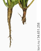 Flat-backed Millepede (Polydesmus angustus) damage to a young Sugar Beet (Beta vulgaris) tap root on the right compared to an undamaged cultivated variety on the left. England, UK. Стоковое фото, фотограф Nigel Cattlin / Nature Picture Library / Фотобанк Лори