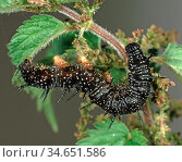 Peacock butterfly (Inachis io) last instar caterpillar feeding on Stinging nettle (Urtica dioica) food plant. Стоковое фото, фотограф Nigel Cattlin / Nature Picture Library / Фотобанк Лори