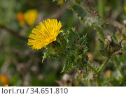 Bristly oxtongue (Helminthotheca echioides). Chesil Beach, Dorset, England, UK. October. Стоковое фото, фотограф Nigel Cattlin / Nature Picture Library / Фотобанк Лори