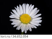 Daisy (Bellis perennis), composite flower with white ray florets and yellow disk florets, on black background. Стоковое фото, фотограф Nigel Cattlin / Nature Picture Library / Фотобанк Лори
