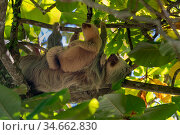 Hoffmann's Two-toed Sloth (Choloepus hoffmanni) mother and baby Manuel Antonio National Park, Quepos, Costa Rica. Стоковое фото, фотограф David Pattyn / Nature Picture Library / Фотобанк Лори
