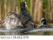 Coot (Fulica atra) two fighting in a territorial dispute during the breeding season Valkenhorst Nature Reserve, Valkenswaard, The Netherlands, May. Стоковое фото, фотограф David Pattyn / Nature Picture Library / Фотобанк Лори